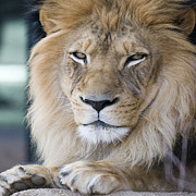 Wild Animal Photos - African Lion by Juli Scalzi