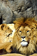 Endangered Cat Posters - African lion relaxing  Poster by Tommy Hammarsten