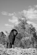 Wildlife Sculpture Acrylic Prints - African Lion Sculpture BW Acrylic Print by Barbara Snyder