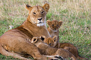 Lion Art - African Lioness and Young Cubs by Suzi Eszterhas