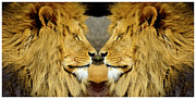 Cats Resting Posters - African Lions in double portrait  Poster by Tommy Hammarsten