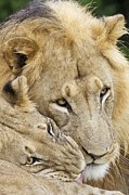 African Lions Print by Science Photo Library