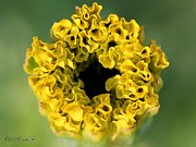 Crackerjack Prints - African Marigold named Crackerjack Gold Print by J McCombie