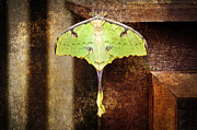 Insects Mixed Media Posters - African Moon Moth 2 Poster by Andee Photography
