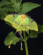 Robert Jensen Metal Prints - African Moon Moth Argema mimosae Metal Print by Robert Jensen