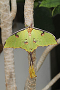 Judy Whitton - African Moon Moth