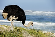 African Ostrich Foraging Next To Beach Print by Sami Sarkis
