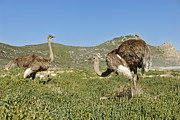 Ostrich Photos - African Ostriches foraging next to beach by Sami Sarkis