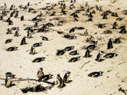 Western Cape Prints - African Penguins Print by Oliver Johnston