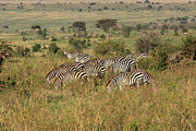 Kenya Photos - African Plains Zebra by Aidan Moran