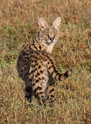 Serval Art - African Serval Cat 1 by Chris Scroggins