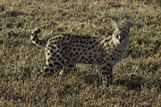 Serval Art - African Serval Cat 2 by Chris Scroggins