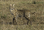 Serval Art - African Serval Cat 3 by Chris Scroggins