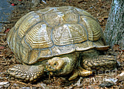 Jacksonville Prints - African Spurred Tortoise Print by Millard H. Sharp