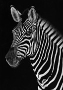 Zebra Drawings - African Stallion by Sheryl Unwin