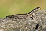 African Striped Skink On A Rock Print by Science Photo Library