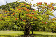 Hamakua Framed Prints - African Tulip Tree Framed Print by Bob Phillips