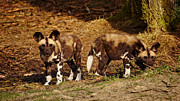 Nick  Biemans - African Wild Dog puppies