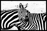 Fauna Originals - African Zebras -black border- in Lake Manyara by Amyn Nasser