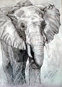 Animals Drawings - Africian Elephant by Nancy Rucker