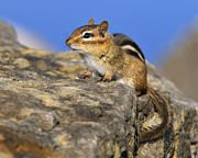 Eastern Chipmunk Photos - After A Bath by Tony Beck