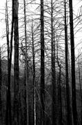 Pine Trees Photos - After the Fire by Joe Kozlowski