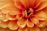 Pretty Dahlia Posters - After The Rain Poster by Anne Gilbert