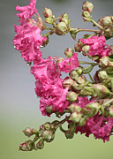Crape Myrtle Posters - After the Rain Poster by Carol Groenen