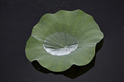 Lotus Leaves Prints - After the Rain- Gungarre Billabong V2 Print by Douglas Barnard
