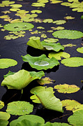 Lotus Leaves Prints - After the Rain- Gungarre Billabong V3 Print by Douglas Barnard