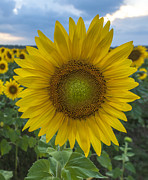 Terry DeLuco - After the Rain Sunflower Augusta NJ