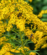 Goldenrod Flower Framed Prints - Afternoon Delight 2 Framed Print by Steve Harrington