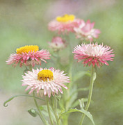 Strawflower Photos - Afternoon Delight by Kim Hojnacki