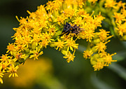 Goldenrod Flower Framed Prints - Afternoon Delight Framed Print by Steve Harrington