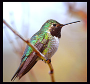 Susanne Still - Afternoon Hummer