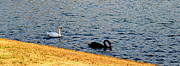Black Swans Metal Prints - Afternoon swim Metal Print by Corinne Rhode