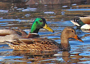 Mallards Prints - Afternoon Swim Print by Randy Hall
