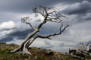 Lone Tree Prints - Against The Wind Print by Bob Christopher