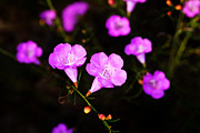 Agalinis Paupercula Or False Foxglove Print by Kim Pate