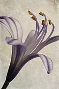 Backgrounds Digital Art Metal Prints - Agapanthus africanus Star Metal Print by John Edwards