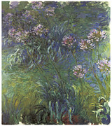 Agapanthus Framed Prints - Agapanthus Framed Print by Claude Monet