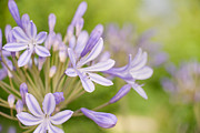 Blue Lily Of The Nile Photos - Agapanthus by Delphimages Photo Creations