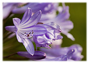 African Lily Acrylic Prints - Agapanthus Acrylic Print by Liz  Alderdice