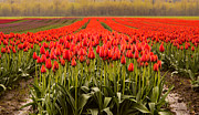 Agassiz Prints - Agassiz Tulip Festival Print by James Wheeler