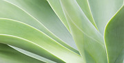 Succulents Posters - Agave Attenuata Poster by Tim Gainey
