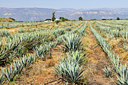 Cultivated Framed Prints - Agave cactus field in Mexico Framed Print by Elena Elisseeva