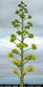 Sky - Agave Flower Spike by Ben and Raisa Gertsberg