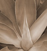 Mary Deal - Agave in Sepia