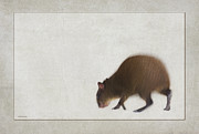 Ron Jones Framed Prints - Agouti Framed Print by Ron Jones