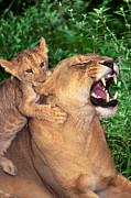 Biting Posters - Ah Being a Mother is Wonderful African Lions Wildlife Rescue Poster by Dave Welling
